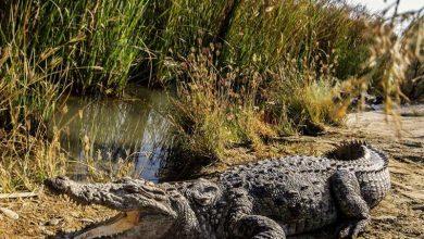 تصویر محل زندگی تمساح در ایران